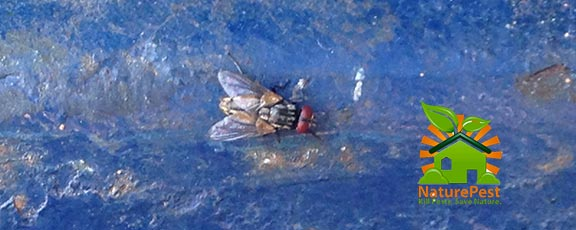 How to Get Rid of House Flies How do i Get Rid of Flies in