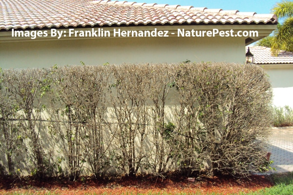 Ficus whitefly Control