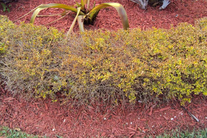 Duranta Gold Mound Dieback from pests and desiases
