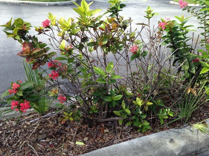 Ixora Hedge Dieback