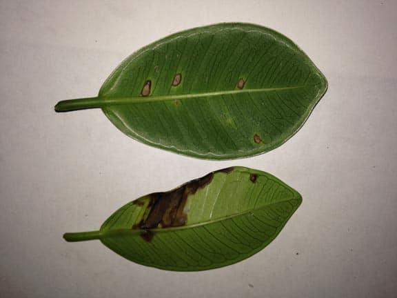 Anthracnose Disease found on Green Island Ficus Ficus microcarpa leaf bottom