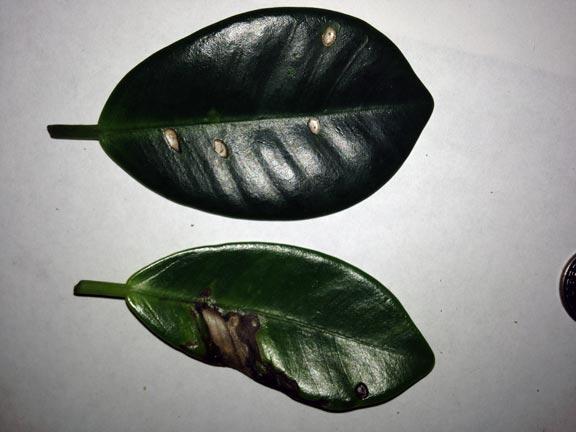 Anthracnose Disease found on Green Island Ficus, Ficus microcarpa