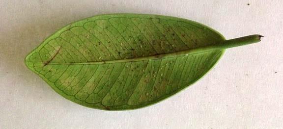 brown soft scale coccus hespridum on Grean Island ficus macrocar