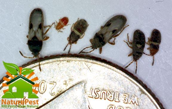 southern chinch bug florida identification