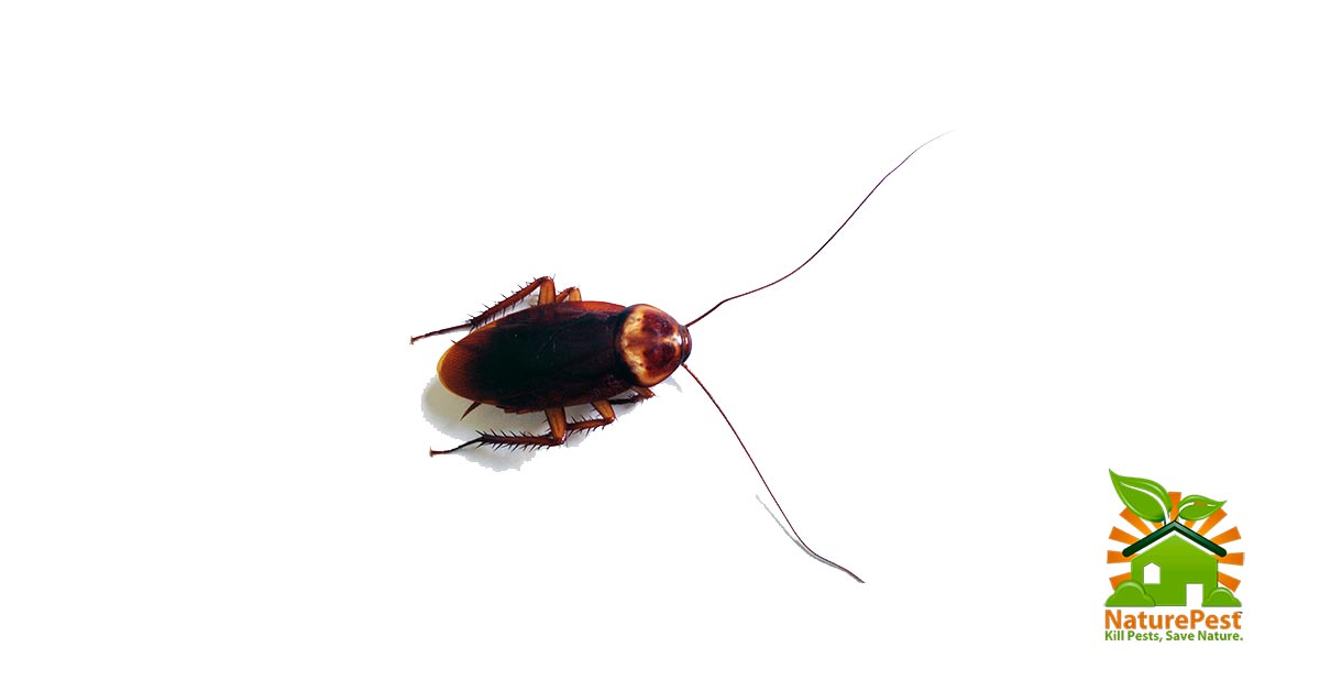 Affordable Large Roach Control
