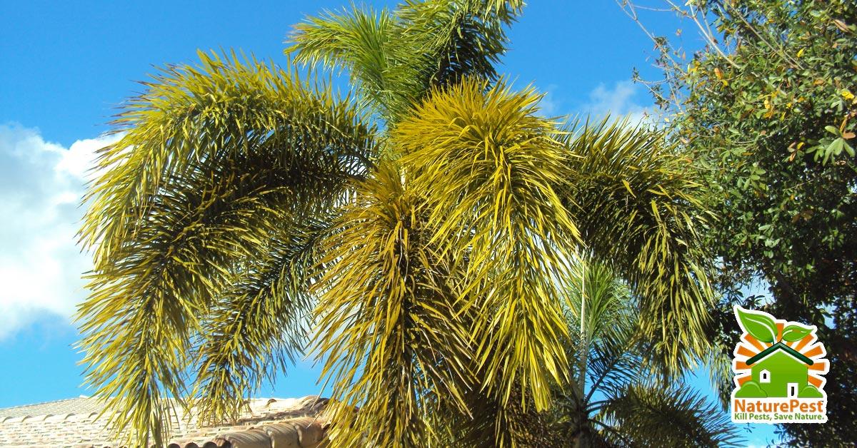 Foxtail Palm (Wodyetia bifurcata) pests diseases deficiencies
