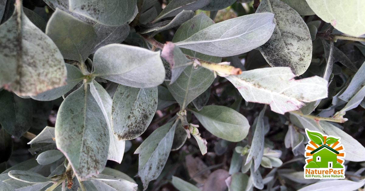 Silver Buttonwood Pests Black Sooty Mold Disease Control