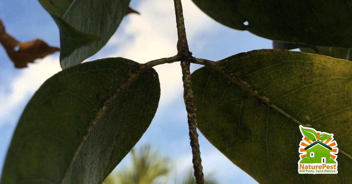 Ways To control Whiteflies and Croton Scale on Gumbo Limbo