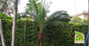 hurricane cut palm