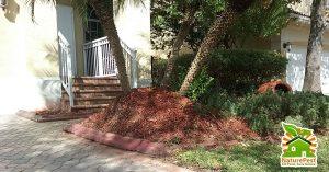 improper palm mulch