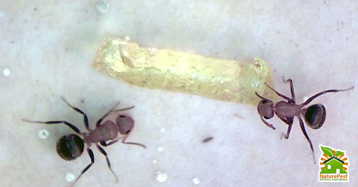Florida Carpenter Ants