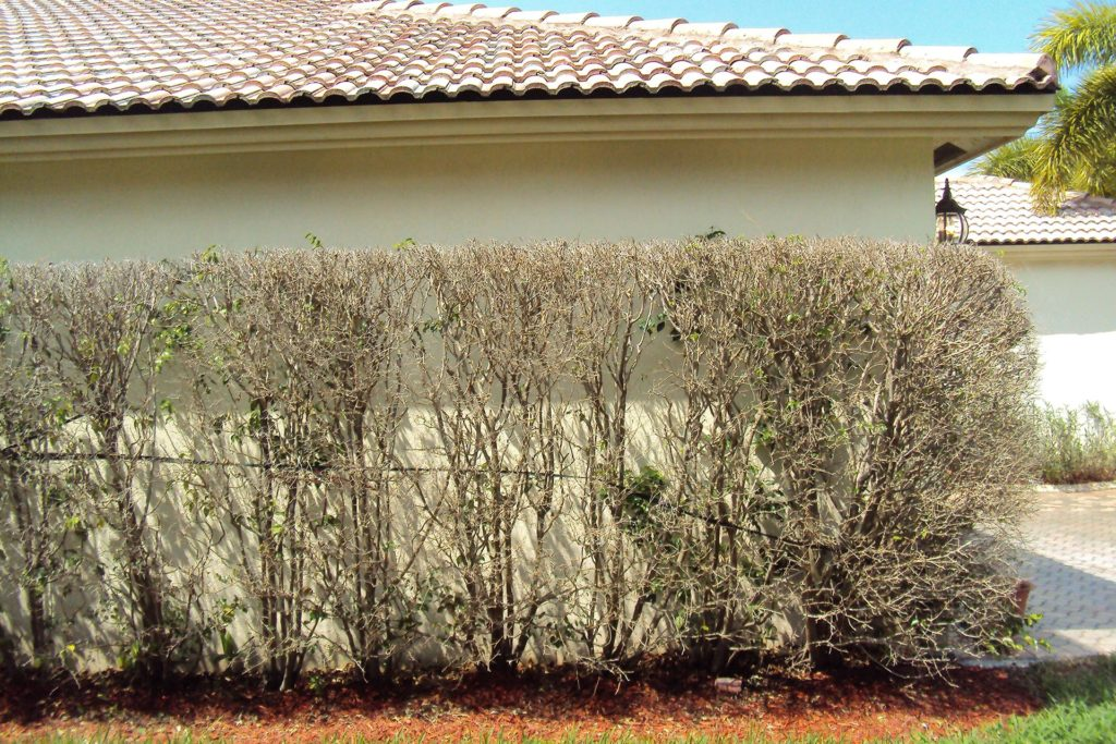 Completely Defoliated Ficus Hedge Not Treated For Whitefly