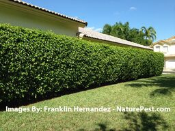 When properly cared for, this is how a ficus hedge should look like.
